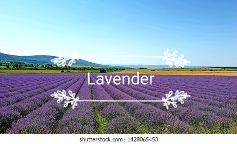 Purple Lavender field  at sunset in  Europe, Bulgaria . Background, walpaper. Lavender text