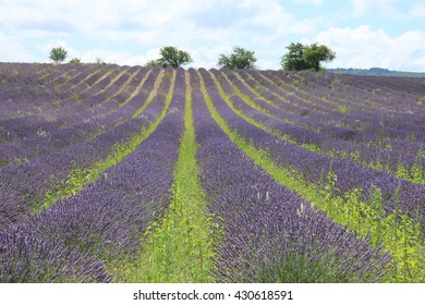 Purple lavender fields near Sault, the Provence in Southern France