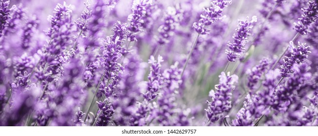 Purple Lavender flowers background . Lavender field at soft light selective focus