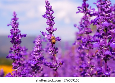 purple lavender flowers with bee.