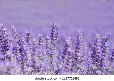Purple lavender flowers close up