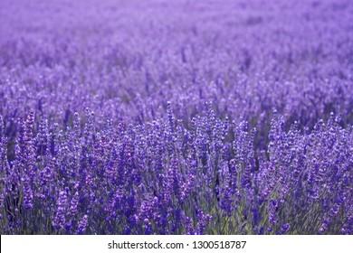 Purple lavender flowers covering the landscape floor