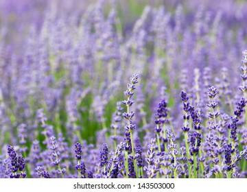 Purple lavender flowers in the field.