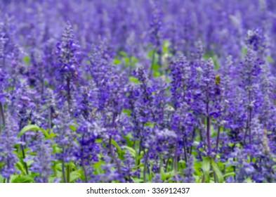 purple lavender flowers in the field,Filter blur