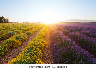 Purple lavender flowers (right) and yellow dwarf everlast flowers (left) in Provence at sunrise