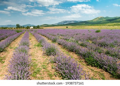 Purple lavender garden. Midday sky over lavender bushes. Wide view of flower field background