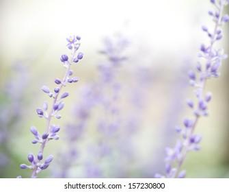 purple lavender growing in the garden