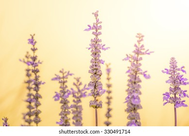 purple lavender in the mist and sunlight on the shallow dept of field for background