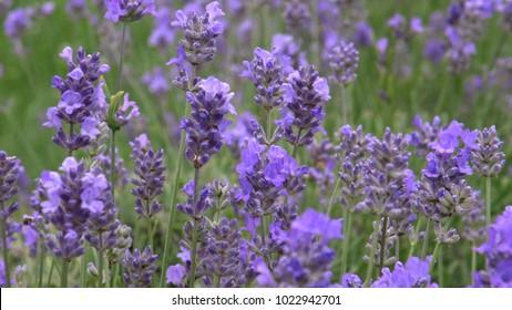Purple lavender plants in full bloom