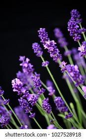 Purple lavender stems against black background