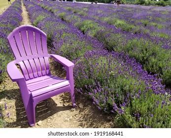 Purple lawn chair in the lavender field