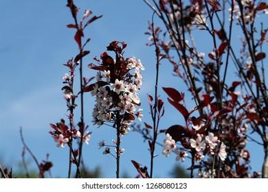 Purple Leaf Sand Cherry Tree Images Stock Photos Vectors
