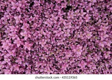 purple leaf texture/leaf texture background