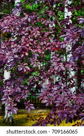 Purple leaves on the branches of wild cherry, background and topic autumn, landscape.