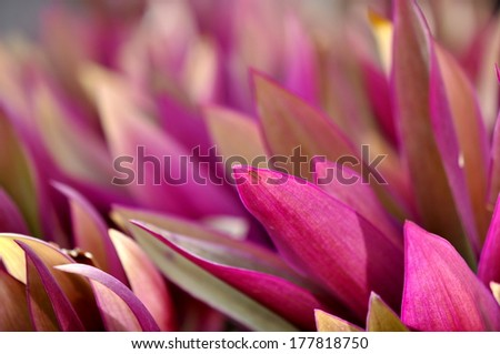 The purple leaves on an oyster plant
