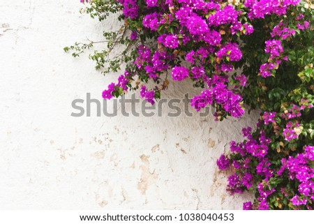 Purple leaves pink flowers ivy on stock photo edit now 1038040453 purple leaves pink flowers ivy on white wall natural background mightylinksfo