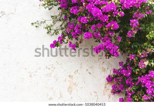 Purple Leaves Pink Flowers Ivy On Stock Photo Edit Now 1038040453