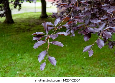 Purple leaves, public park of the Steinfeld Abbey, Germany