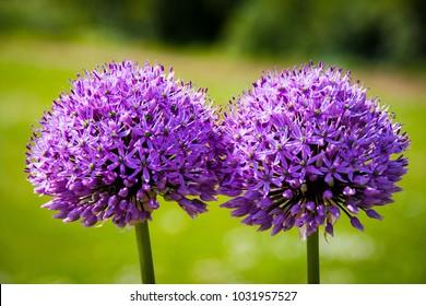 purple leek allium closeup
