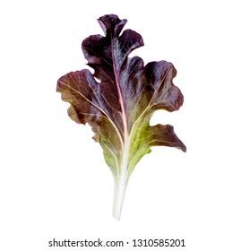 Purple lettuce leaf isolated on white background. Red Oakleaf lettuce salad