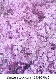 purple lilac. purple lilac background. purple lilac wallpaper. purple lilac close up.