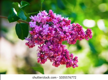 Purple lilac blooms. Branch of blossoming lilac. Shallow depth of field. Selective focus.