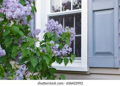 Purple Lilac Blooms Next to a Window