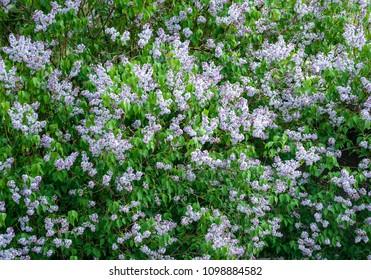 Purple lilac blossom background