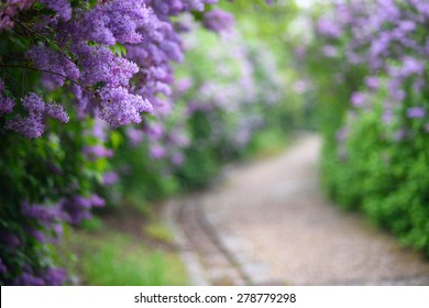 Purple lilac blossoms blooming in springtime with beautiful bokeh