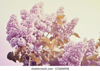 Purple lilac bush spring time