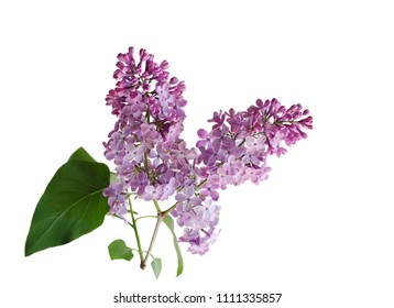 Purple lilac flower blooming isolated on white background