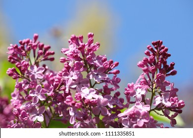 Purple lilac flower blossom against blue sky