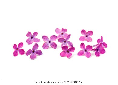 Purple lilac flower closeup isolated on white background