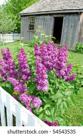 Purple lilac flowering shrub with rural background