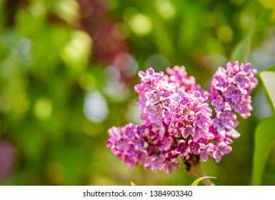 purple lilac flowers bush blooming in summer day
