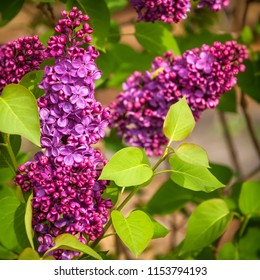 Purple Lilac Flowers, not Australian natives but enjoying the colder climate in the town of Leura in Blue Mountains, Australia.