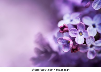 Purple lilac flowers spring blossom background