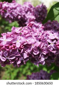Purple lilac on natural background in sunny, blossom, spring day