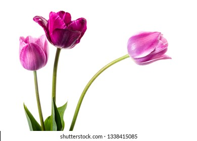 Purple and lilac tulips isolated on a white background