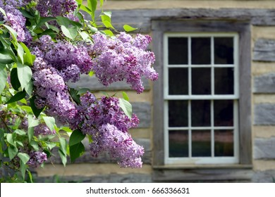 Purple lilacs in front of log cabin with window
