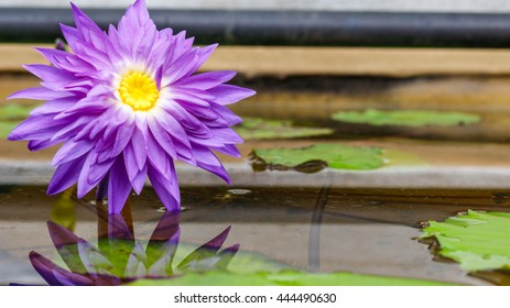 Purple lily flower with reflection
