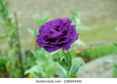 purple lisianthus and dewdrop