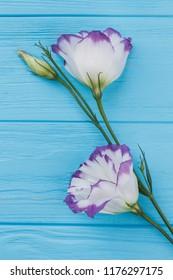 Purple lisianthus or eustoma flower. Close up. Blue wood background.