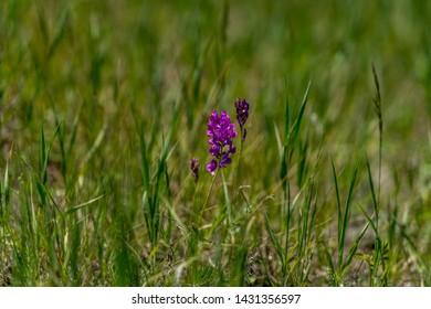 Purple Loco Weed blooms in a field during spring near Colorado Springs Colorado