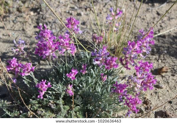 Purple Locoweed in Wyoming Desert