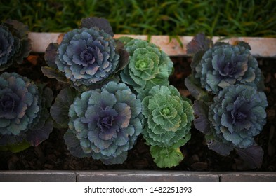 Purple long lived cabbage, High angle view