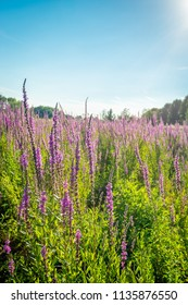 Purple loosestrife against the light from the low sun. It is a warm and atmospheric summer evening in a Dutch nature reserve.