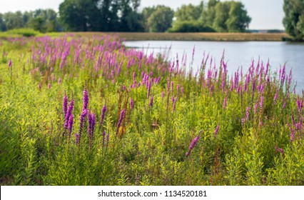 Purple Loosestrife or Lythrum salicaria plants flowering in the foreground of a landscape with a natural pond in the background. It is a windless summer evening and the water surface is mirror smooth.