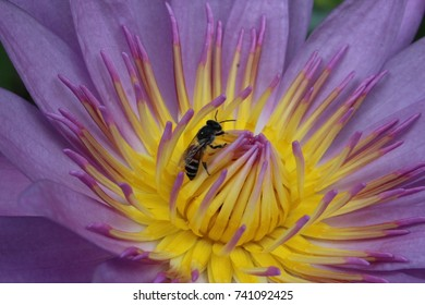 purple lotus