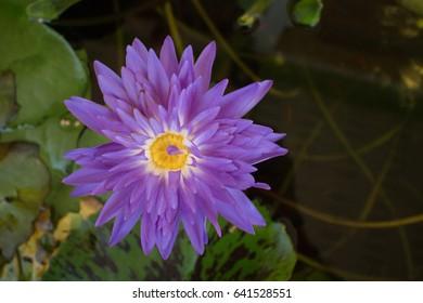 Purple lotus is beautiful